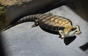 Blue Tongue Lizard 2 Photograph by Xueling Zou