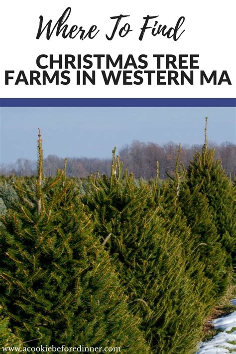 christmas tree farms in western ma a cookie before dinner