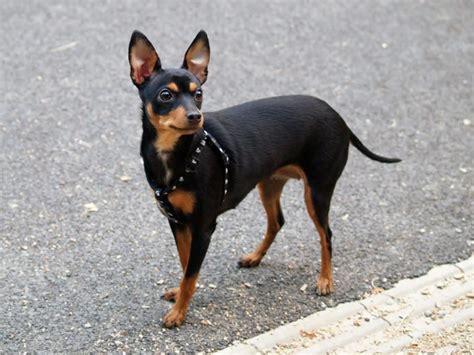 Pinscher Miniatura Em  Fotos Lindas Tudo Sobre Cachorros