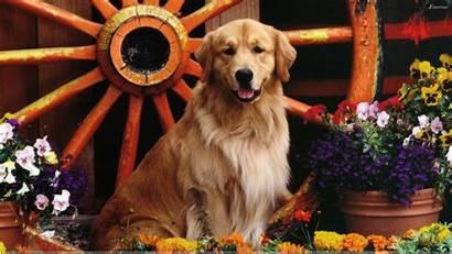 Golden Labrador Retriever Desktop Dogs Mix Dog