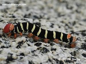 Costa Rica Sphinx Caterpillar Pseudophinx Tetrio