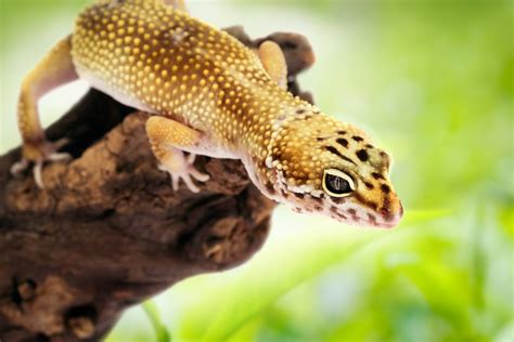 100 do baby leopard geckos shed leopard gecko best pet this one looks just like our