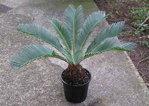 solomonsnursery au 187 cycas revoluta sago palm