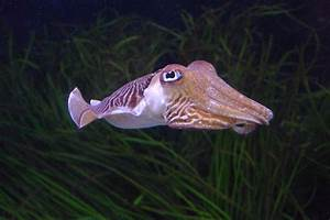 Cuttlefish Picture And Images