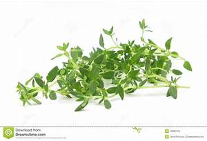 Thyme Common Fresh Leaves Stock Photography - Image: 10881312