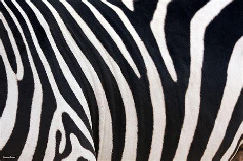 zebra backgrounds wallpaper cave