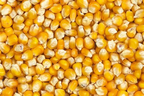 yellowrock ddgs product import  trading  grains