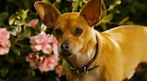 New Clip of 'Beverly Hills Chihuahua 2' Features Bank Robbery