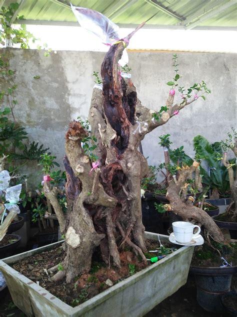 tips trick memilih mengolah bakalan bonsai  bagus centralbonsaicom berbagi ilmu