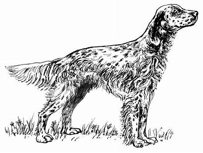 Setter English Dog Coloring Bw Clipart Dogs