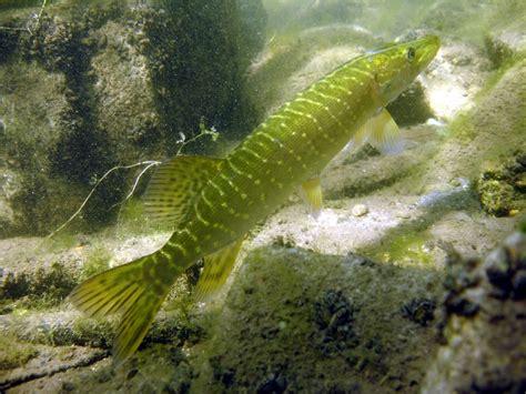 p 234 che des poissons d eau douce et mer guide du d 233 butant