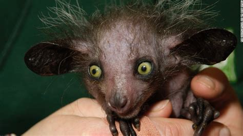 Search for the world's ugliest animal CNN