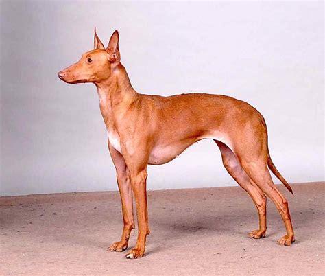 Suņu šķirnes daudz - Spoki - bildes 20