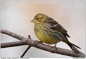 Heimische Singvögel Bilder : alle singv gel foto naturfotografie digital bilder mit beschreibung ~ Whattoseeinmadrid.com Haus und Dekorationen