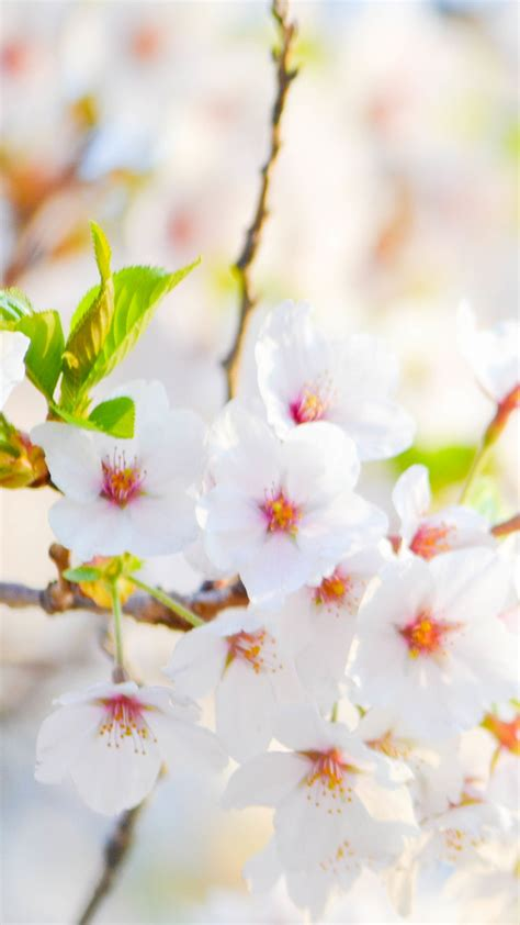 White Flowers Hd Wallpaper For Your Mobile Phone 5887