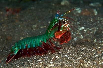 Shrimp Mantis Wallpapers Backgrounds