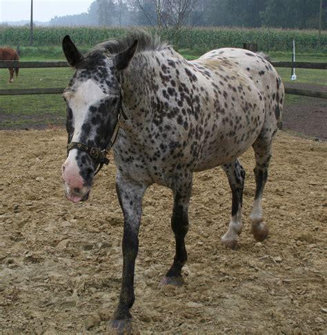 appaloosa horse breeds poa horses leopard spots breeding appaloosas markings pony body blanket hip americas hubpages f520