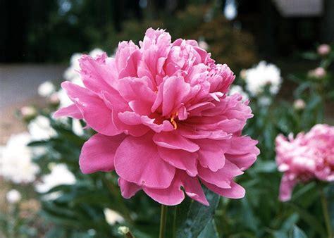 peony flower flowers pink romantic peonies blooms older taken