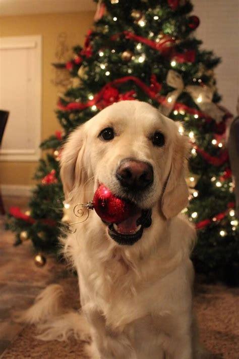merry christmas golden retriever lab love dogs dogs golden retriever dog christmas pictures