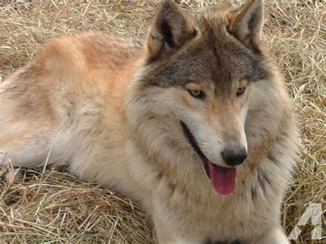 wolf hybrid wolf hybrid puppies for sale quotes