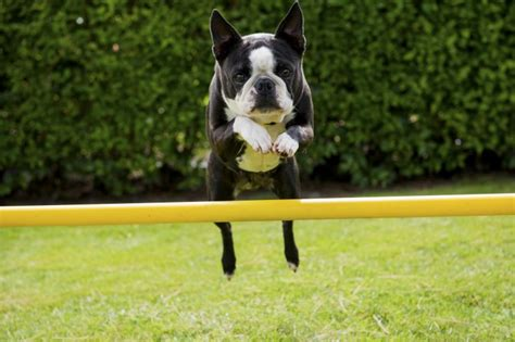 Taking The Jumping Up Out Of A Boston Terrier Petshomes