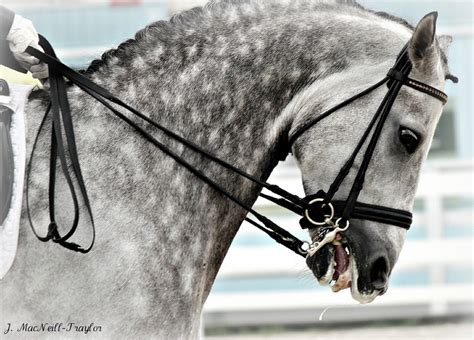 bad dressage horse horses tongue grey bits bit riding mouth hunter prix eventing grand reins equestrian horsemanship equine dapple tight