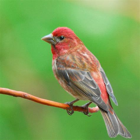 purple finch my gardens pinterest