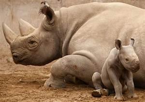 Black Rhino Facts, Habitat, Population in Wild, Conservation