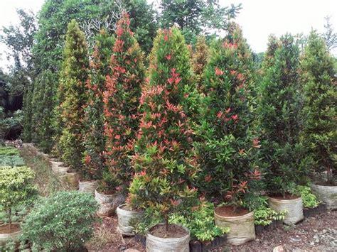 pohon tanaman pucuk merah