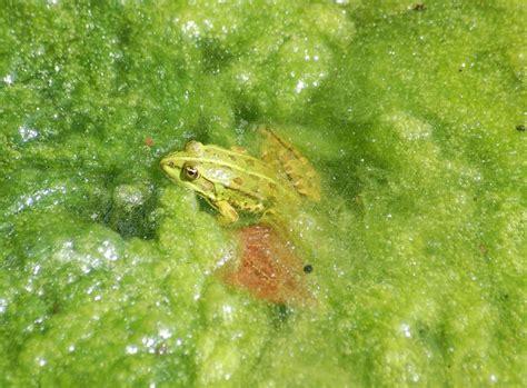 algen im teich vernichten algen im teich nat 252 rliche hilfsmittel zooroyal magazin