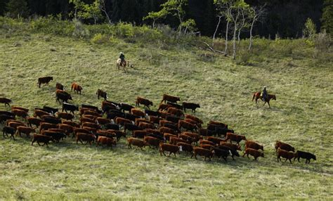 live feeder cattle prices cba cattle downhill1000 jpg