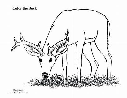 Deer Buck Pages Coloring Male Monster Printable