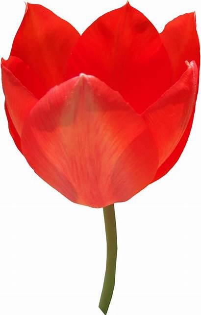 Tulip Tulipe Transparent Darkest Thy Hour Tulips