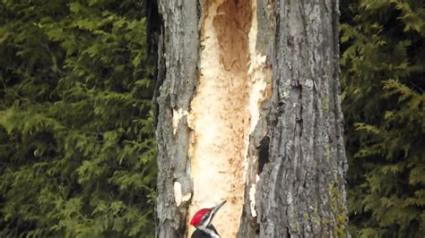 big pilated woodpecker makes a big hole in a tree youtube
