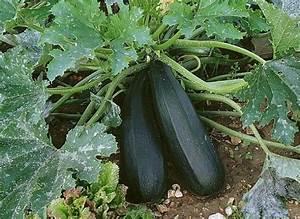 Quand Planter Courgette : planter la courgette forts planters and articles ~ Dallasstarsshop.com Idées de Décoration