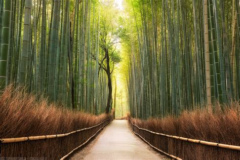 landscape nature path bamboo trees forest wallpapers