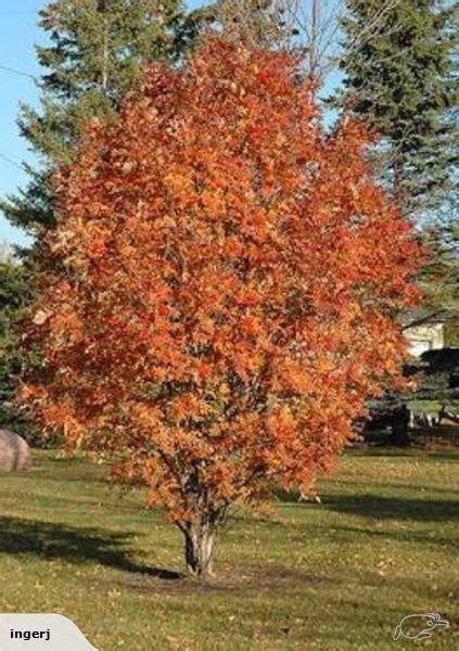 rowan   small  medium sized deciduous tree