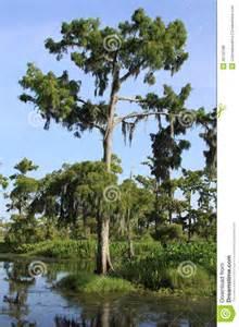 Louisiana Swamps Cypress Trees