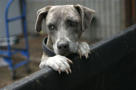 separation anxiety  dogs wikipedia