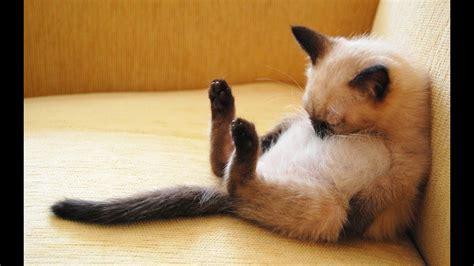 los gatos mas chistosos  extranos gatos graciosos