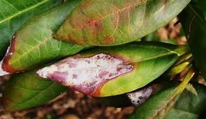 Rhododendron Braune Blätter : rhododendron krankheiten rhododendron gelbe und braune bl ~ Lizthompson.info Haus und Dekorationen