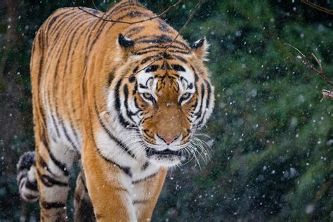 The World Best Photos Natur Tiger Flickr Hive Mind