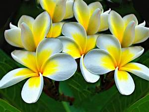 Plumeria Flowers Yellow White Hd Wallpaper 1571