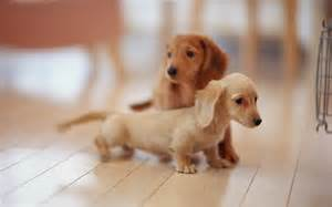 Rat Terrier Mix Shedding by Cute Puppy Dogs Miniature Dachshund Puppies