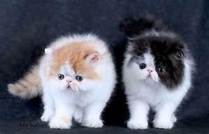 beautiful pedigree kitten offer 200