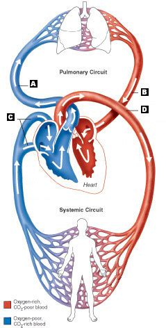 All blood vessels have the same basic structure. Art-Labeling Quiz
