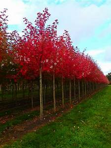 Johannisbeeren Hochstamm Kaufen : acer freemanii 39 autumn blaze 39 rot ahorn 39 autumn blaze ~ Lizthompson.info Haus und Dekorationen