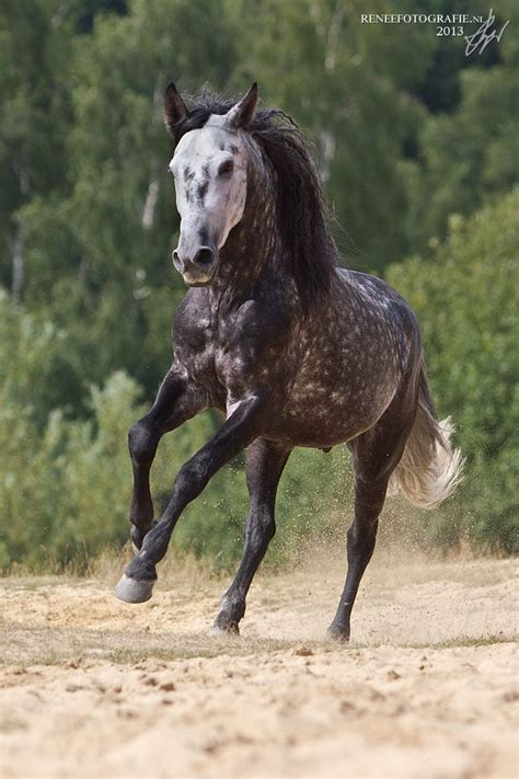 horse andalusian dapple grey horses fast