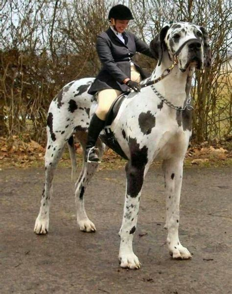 dogs horse dog bigger biggest than giant he