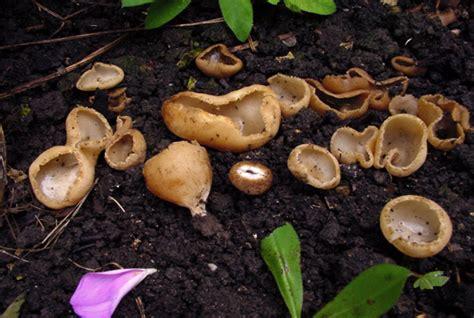Pilze Im Garten Vernichten by Pilze Im Beet Vernichten Pilze Im Rasen Nelkenschwindling